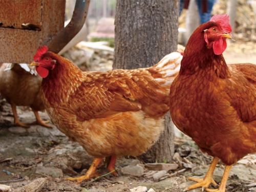 特种禽类养殖